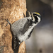 Three-toed Woodpeckers - Photo (c) Roman Providukhin, some rights reserved (CC BY-NC)