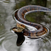 Florida Cottonmouth - Photo (c) Mary Keim, some rights reserved (CC BY-NC-SA)