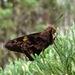 Perichares aurina - Photo (c) Sandro Salomon, algunos derechos reservados (CC BY-NC)