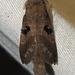 Metanastria hyrtaca - Photo (c) Vijay Anand Ismavel, osa oikeuksista pidätetään (CC BY-NC-SA), uploaded by Dr. Vijay Anand Ismavel MS MCh