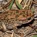 Vandijkophrynus gariepensis - Photo (c) Ockert van Schalkwyk, algunos derechos reservados (CC BY-NC)