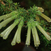 Erica glandulosa - Photo (c) Felix Riegel, algunos derechos reservados (CC BY-NC)