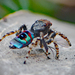 Maratus karrie - Photo (c) Cheryl Macaulay, algunos derechos reservados (CC BY-NC)