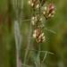 Lespedeza angustifolia - Photo (c) Alvin Diamond, algunos derechos reservados (CC BY-NC)