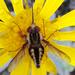 Trichophthalma - Photo (c) Damon Tighe,  זכויות יוצרים חלקיות (CC BY-NC)