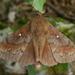 Dendrolimus pini - Photo (c) Philip Sansum, algunos derechos reservados (CC BY-NC), uploaded by Sansum, P.A.