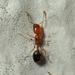 Trichomyrmex destructor - Photo no hay derechos reservados