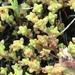 Crassula connata - Photo Sem direitos reservados
