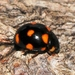 Ursine Spurleg Lady Beetle - Photo (c) Denis Doucet, some rights reserved (CC BY-NC)