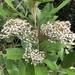 Olearia avicenniifolia - Photo (c) James Bailey, algunos derechos reservados (CC BY-NC)