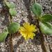 Launaea sarmentosa - Photo (c) Craig Peter, algunos derechos reservados (CC BY-NC)