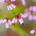 Erica equisetifolia - Photo (c) magriet b, algunos derechos reservados (CC BY-SA)