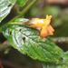 Besleria - Photo (c) Paola Carrera, algunos derechos reservados (CC BY-NC)