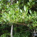 Cassinopsis madagascariensis - Photo (c) Romer Rabarijaona, alguns direitos reservados (CC BY-NC)