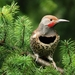 Northern Red-shafted Flicker - Photo (c) Minette Layne, some rights reserved (CC BY-NC)