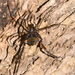 Armored Harvestmen - Photo (c) Damon Tighe, some rights reserved (CC BY-NC)