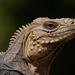 Iguanas de Las Rocas - Photo (c) Wayne Fidler, algunos derechos reservados (CC BY-NC)