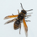 Keyhole Wasp - Photo (c) Wayne Fidler, some rights reserved (CC BY-NC)