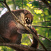 White-nosed Coati - Photo (c) rainaf, some rights reserved (CC BY-NC-SA)