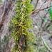 Cryphaea glomerata - Photo (c) karenandphillip, algunos derechos reservados (CC BY-NC)
