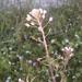 Capsella rubella - Photo (c) fausto, algunos derechos reservados (CC BY-NC-ND)