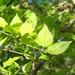 Celtis tenuifolia - Photo (c) botanygirl, algunos derechos reservados (CC BY), uploaded by botanygirl