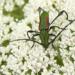 Ischionodonta iridipennis - Photo (c) Eduardo Luis Beltrocco, osa oikeuksista pidätetään (CC BY-NC)