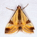 Fig Leaf Moth - Photo (c) Victor W Fazio III, some rights reserved (CC BY-NC)