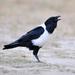 Corvus albus - Photo (c) Ian White,  זכויות יוצרים חלקיות (CC BY-ND)