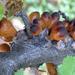 Cyttaria hookeri - Photo (c) Damon Tighe, μερικά δικαιώματα διατηρούνται (CC BY-NC)