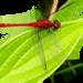 Diplacodes bipunctata - Photo (c) Kuruvitu Siva, algunos derechos reservados (CC BY-NC)