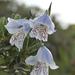 Gladiolus caeruleus - Photo (c) Seth, alguns direitos reservados (CC BY)