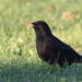 Spotless Starling - Photo (c) naturpel, some rights reserved (CC BY-NC)