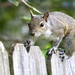 Florida Gray Squirrel - Photo (c) gregcody819, some rights reserved (CC BY-NC)