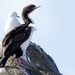 Stewart Island Shag - Photo (c) noahgaines, some rights reserved (CC BY-NC)