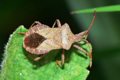 Dock Bug - Photo (c) Walwyn, some rights reserved (CC BY-NC)