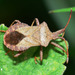 Coreus marginatus - Photo (c) Walwyn,  זכויות יוצרים חלקיות (CC BY-NC)