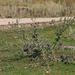 Cirsium serrulatum - Photo (c) Kutushev Radik, some rights reserved (CC BY-NC)