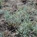 Artemisia santonicum - Photo (c) Дмитрий Епихин, osa oikeuksista pidätetään (CC BY-NC)