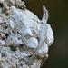 Anolis angusticeps - Photo (c) Josh Vandermeulen, algunos derechos reservados (CC BY-NC-ND)
