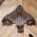 Nyceryx stuarti - Photo (c) Don Loarie,  זכויות יוצרים חלקיות (CC BY)