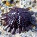 Colobocentrotus - Photo (c) Ken-ichi Ueda, algunos derechos reservados (CC BY)