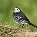 White Wagtail - Photo (c) naturpel, some rights reserved (CC BY-NC)