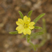 Lagophylla ramosissima - Photo (c) randomtruth, algunos derechos reservados (CC BY-NC-SA)