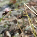 Carex misandra - Photo (c) Владимир Бурый, μερικά δικαιώματα διατηρούνται (CC BY-NC)
