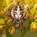 Araña Tejedora Arabesca - Photo (c) Denis Doucet, algunos derechos reservados (CC BY-NC)