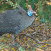 Southern Helmeted Guineafowl - Photo (c) Jaunne-Marelize Van Tonder, some rights reserved (CC BY-NC)