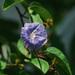 Campanilla Azul - Photo (c) Jenny Evans, algunos derechos reservados (CC BY-NC)