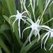 Hymenocallis latifolia - Photo (c) scott.zona, algunos derechos reservados (CC BY-NC)