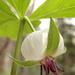 Trillium rugelii - Photo (c) zen Sutherland, μερικά δικαιώματα διατηρούνται (CC BY-NC-SA)